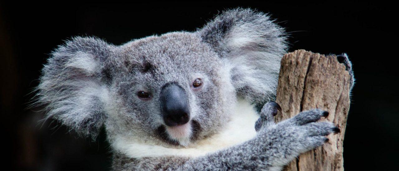 Rocío Marengo y el koala: cómo un chiste se convierte en desinformación
