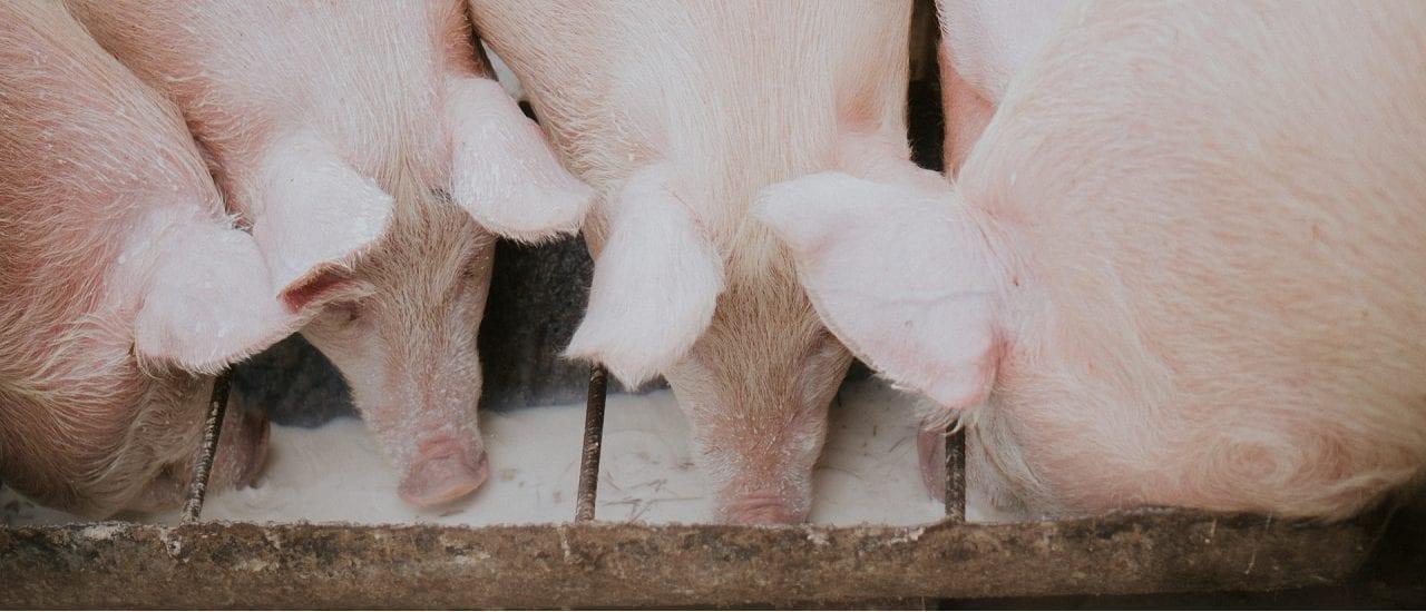 ¿En qué consiste el proyecto de la Argentina con China para producir carne de cerdo?